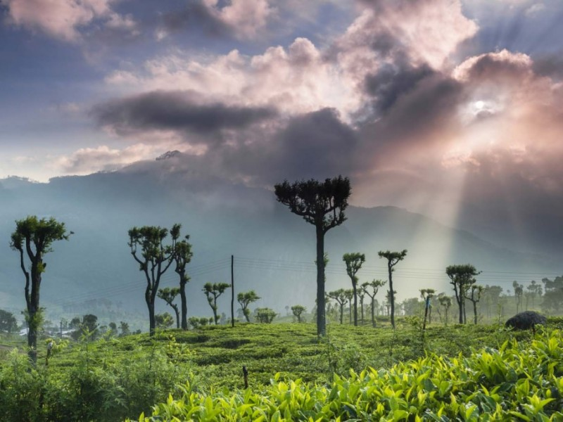 Sri Lanka. Sunrise landscape photography of tea plantation at Haputale, Sri Lanka Hill Country, Asia, by landscape photographer Matthew Williams-Ellis